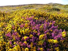 P1010320 (jrcollman) Tags: plants places devon dartmoor haytor ulexgallii eplant ericacinerea haytortohoundtor