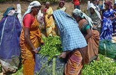 India - Kerala - Munnar - Tea Harvest - 104 (asienman) Tags: india mountains kerala hills teafactory teaplantation munnar teapicker asienmanphotography teaplantagens