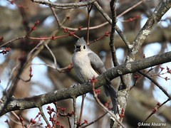 Tufted Titmouse in Maple Tree (Anne Ahearne) Tags: maple tree bird birds titmouse tufted cute animal animals wildlife nature