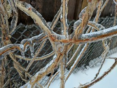Ice Storm Grapevine (Dru!) Tags: