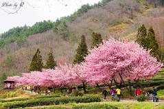 武陵農場賞櫻 (SU QING YUAN) Tags: sony taiwan a55 1680za variosonnartdt35451680 zeiss pink sakura flower flowers