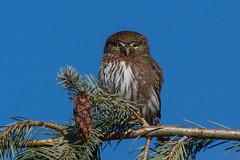 Clarke_170306_5600.jpg (www.raincoastphoto.com) Tags: birds glaucidiumgnoma birdsofbritishcolumbia owls birdsofcanada birdsofnorthamerica northernpygmyowl britishcolumbia canada