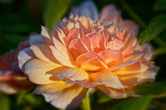First touch of sun (bluepoppynz) Tags: monavale flower rose apricot