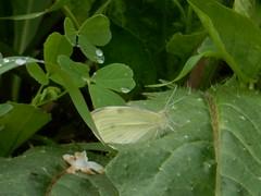 Manhã de domingo (LuPan59) Tags: lupan59 fauna oeiras borboletas