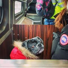 Bella (Georgie_grrl) Tags: bella pug poochie dog canine ttc streetcar stclairavenuewest toronto ontario whattheheckareyoulookinat explore