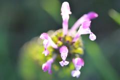 Delicate flowers (dfromonteil) Tags: flowers fleurs pink withe green vert blanc rose macro bokeh printemps spring yellow jaune colors couleurs nature plant plante lumière light