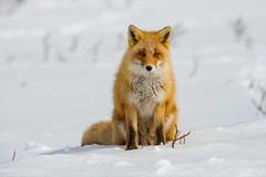 Curious Fox (fascinationwildlife) Tags: animal mammal red fox rotfuchs fuchs vulpes curious wild wildlife nature natur japan hokkaido winter snow cold cute north asia notsuke peninsula