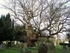 Old Oak Tree (ERIK THE CAT Struggling to keep up) Tags: castlechurch tree oak stafford
