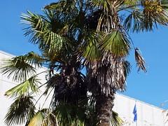 Windmill Palms With Fruit Torquay (Torquay Palms) Tags: blue trees summer england west tree english windmill leaves june fruit palms island bay leaf riviera torre britain south centre united great seed kingdom center palm islander seeds devon tor torquay gree torbay 2014 hs20 trachycarpus exr fortunei chusan tfortunei
