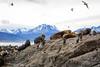 Stinky Sea Lions (Kesav....) Tags: patagonia southamerica nature beautiful canon ushuaia landscapes amazing pretty glacier endoftheworld peritomorenoglacier digitalrebelxsi forgottenpath southernmostamerica