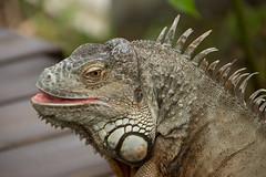 Lizard (Ludvius) Tags: animal ludovicophotography wwwludovicophotocom