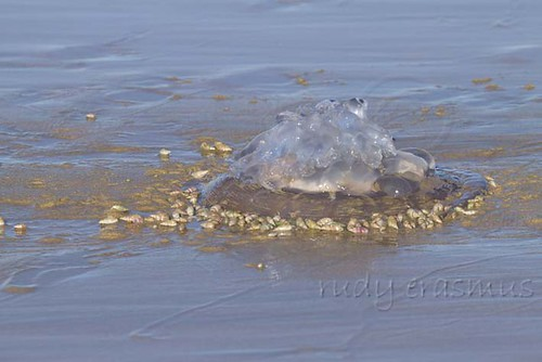 Periwinkles  eating  Jellyfish_1839