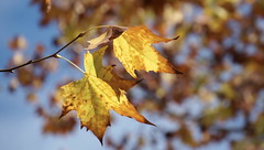 FULNESS (fabio lf petry) Tags: blue autumn red orange tree fall colors leaves yellow leaf maple dof favorites portoalegre pop platano popular favs fallfoliage2014