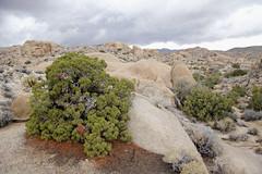 California juniper at Jumbo Rocks (Joshua Tree National Park) Tags: storm rock clouds nationalpark joshuatree boulder campground juniper joshuatreenationalpark juniperuscalifornica jumborocks californiajuniper