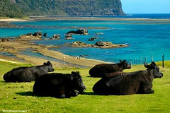 View Over Lovers Bay, Salmon Beach & the Base of Mt Lidgbird & Mt Gower From Near Capella Lodge, Lord Howe Island, NSW (Black Diamond Images) Tags: ocean mountain island cattle cows scenic australia nsw reef lordhoweisland worldheritagearea salmonbeach blackcows mountlidgbird mountgower mtgower mtlidgbird thelastparadise loversbay