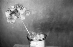 (Lisrgico) Tags: barcelona street old city blackandwhite flower analog vintage background pot ilford ilforddelta3200 homedarkroom