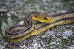 Yellow Rat Snake (DFChurch) Tags: nature yellow rat florida snake wildlife reserve lakeland sanctuary circlebbar