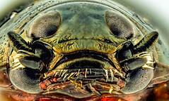 Head of Gyrinus Whirligig beetle stack image (jrjc2012) Tags: macro water closeup insect pond eyes image head beetle stack stacked whirligig