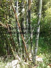 phyllostachys nigra boriana (arbresetjardin) Tags: la bambou nigra phyllostachys boriana labambouseraie bambousaie