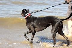 Crosby (Emma Gibbs) Tags: anotherplace beaches beach antonygormley crosby betty water dogs dog greyhounds