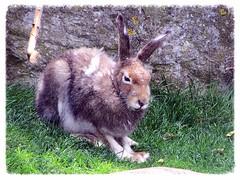 Schneehase, Mountain hare, Livre variable (v8dub) Tags: schnee mountain rabbit nature animal germany deutschland zoo am meer hare natur bio tierpark allemagne bremerhaven lapin hase tier kaninchen variable niedersachsen schneehase rongeur livre lepus timidus biodiversit