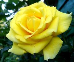 (irishishka) Tags: flower rose yellow flowerwatcher mygardenschoo