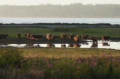 The neighbours (Jaedde & Sis) Tags: reflection water cattle cows highland sweep gamewinner friendlychallenges storybookwinner
