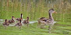 Mallard duck (Pattys-photos) Tags: duck idaho mallard marketlakewildlifemanagementarea