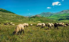 Brucando (marypink) Tags: summer field umbria pecore flockofsheep montisibillini gregge castellucciodinorcia