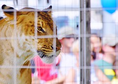 Liger - 1 at Prince William County Fair, 2014 (Stephen Little) Tags: 18mm princewilliamcountyfair sigma18250 sigma18250mm sigma18250mmf3563 sigma18250mmf3563dcoshsm sonya77 jstephenlittlejr sigma18250mmf3563dcoshsm880205 slta77 sonyslta77 sonyslta77v sonyalphaslta77v