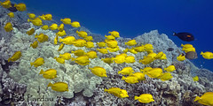 Yellow Tangs (bodiver) Tags: blue hawaii ambientlight snorkeling freediving schools fins tangs honaunau