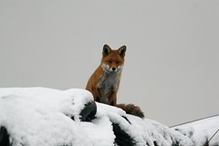 Red Fox (Vulpes vulpes) in the snow, by Peter Alfrey
