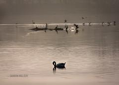 Carlingwark Loch - birds (sisterblue) Tags: morning light mist water birds fog sunrise still swan calm loch tranquil