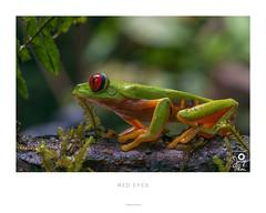 Rana de Ojos Rojos - Agalychnis callidryas (Jorge De Silva R) Tags: de ojos laguna rana chiapas belgica espinoza rojos agalychnis callidryas ocozocuautla