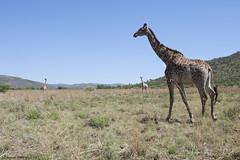 Giraffe ( Giraffa camelopardalis ) (Zsuzsa Por) Tags: africa animal southafrica wildlife safari giraffe animalplanet pilanesberg giraffacamelopardalis wildlifephotography fantasticnature wildlifeafrica giraffefamily canoneos50d canonef2470mmf28 canonistas