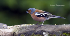 52 Chaffinch (blue62photography) Tags: england abbey birds squirrels derbyshire hide calke derbs ticknal calkevillage blue62photography