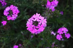 Flowers (Hakgala Botanical Garden) (Achala Photography) Tags: flowers flores fleurs bunga 花 꽃 鲜花 цветы achala rajapaksha ดอกไม้ फूल الزهور ফুল மலர்கள் මල්