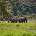 Loango 11 - Elephant Pair 4