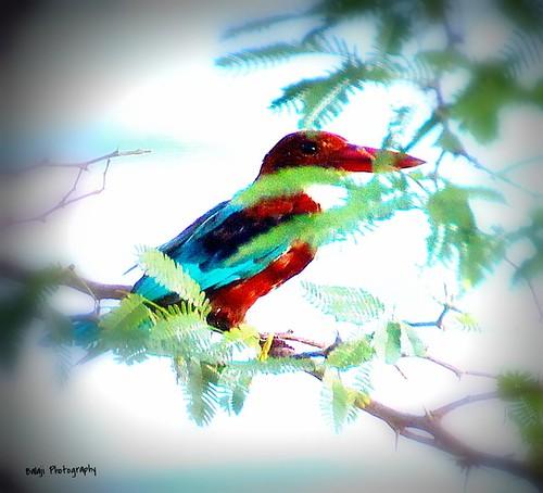 White Thoated Kingfisher