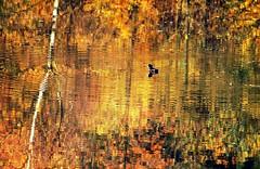 Autumn as always came too soon (Cristian Ştefănescu) Tags: autumn color bird fall water leaves wasser colours spiegel herbst toamna spiegelung vogel farben oglinda culori fav25 pasare apă outstandingromanianphotographers