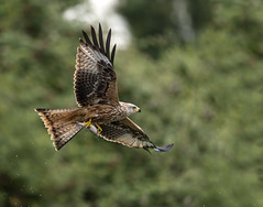 Red Kite Fishing- 2 (Ron Fullelove) Tags: red kite bird rainbow fishing flight ron raptor prey unusual trout behaviour fullelove