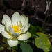 American Lotus_2nd Day Flower
