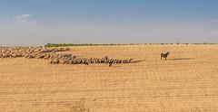 The flock? (Anibal1971) Tags: blue orange azul spain shepherd flock valladolid fields pastor naranja sheeps campos ovejas rebao laseca