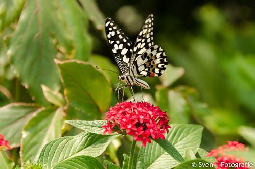 Big big Butterfly