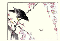Cherry and common hill myna (Japanese Flower and Bird Art) Tags: flower bird art japan cherry japanese book hill picture common haruna woodblock nihonga prunus kinzan religiosa myna rosaceae sturnidae gracula readercollection