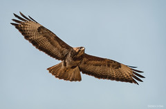Bussard (Wagner Tobias) Tags: nikon action wildlife feld buzzard tier commonbuzzard remseck musebussard busard imflug nikond300