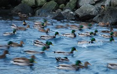 Bit windy at Húsavík beach - even for the mallard ducks
