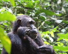 20140904_0180_Kibale_Chimpanze (fstoger) Tags: africa wildlife safari uganda afrique ouganda viesauvage