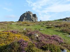 P1010329 (jrcollman) Tags: people plants places devon dartmoor haytor callunavulgaris ulexgallii cplant haytortohoundtor