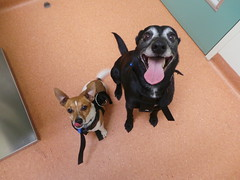Eddie and Max (Rayya The Vet) Tags: dog vet canine geriatric twitter foxterriercross whippetcross